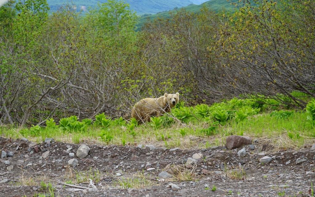 Медведь Камчатка