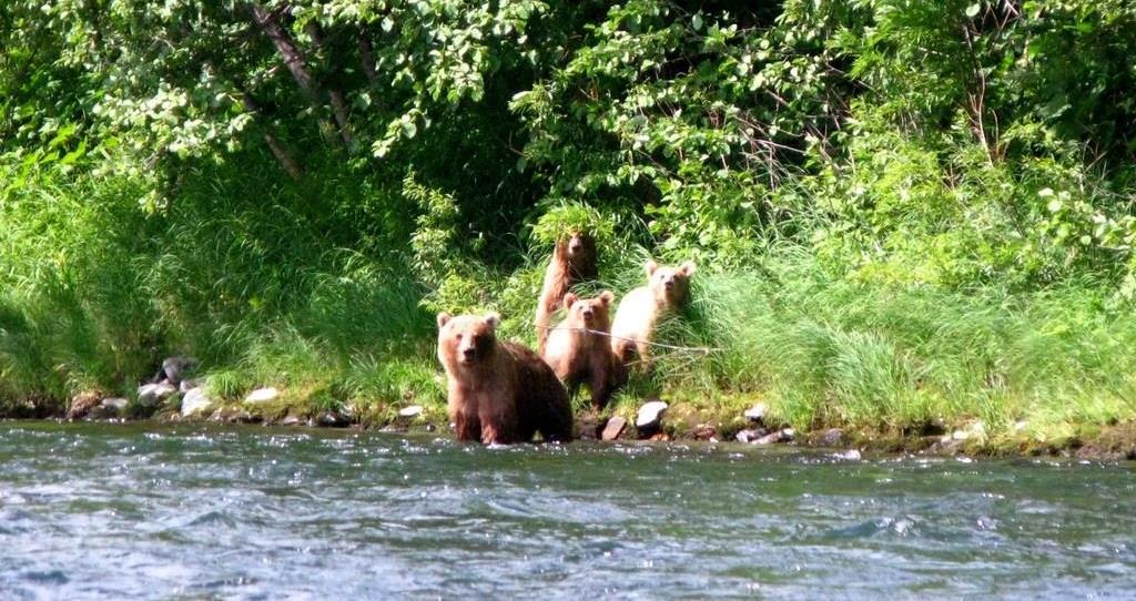 медведи на реке Быстрая